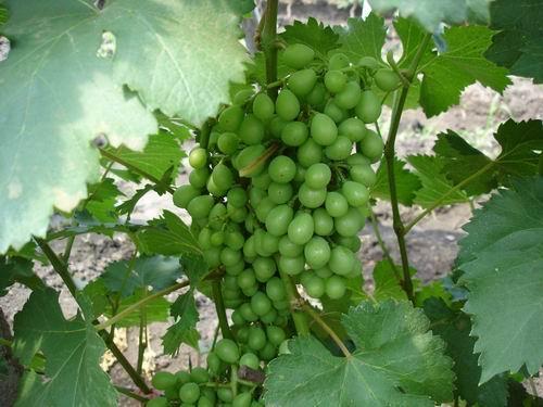 葡萄种植技术葡萄修剪图片