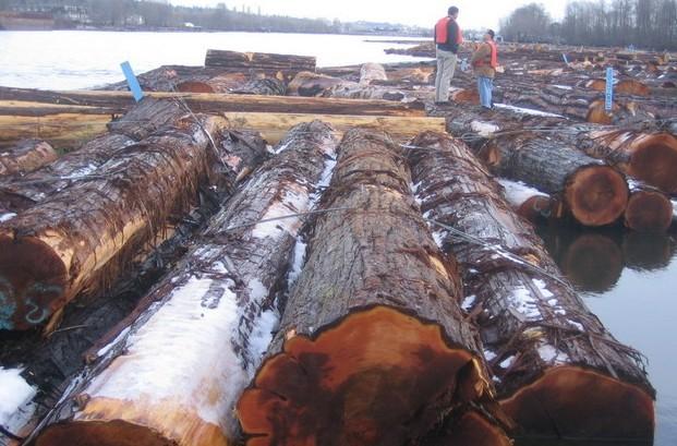 供应专业新西兰红雪松原木进口代理批发