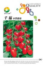 西红柿种子千福水果番茄种子