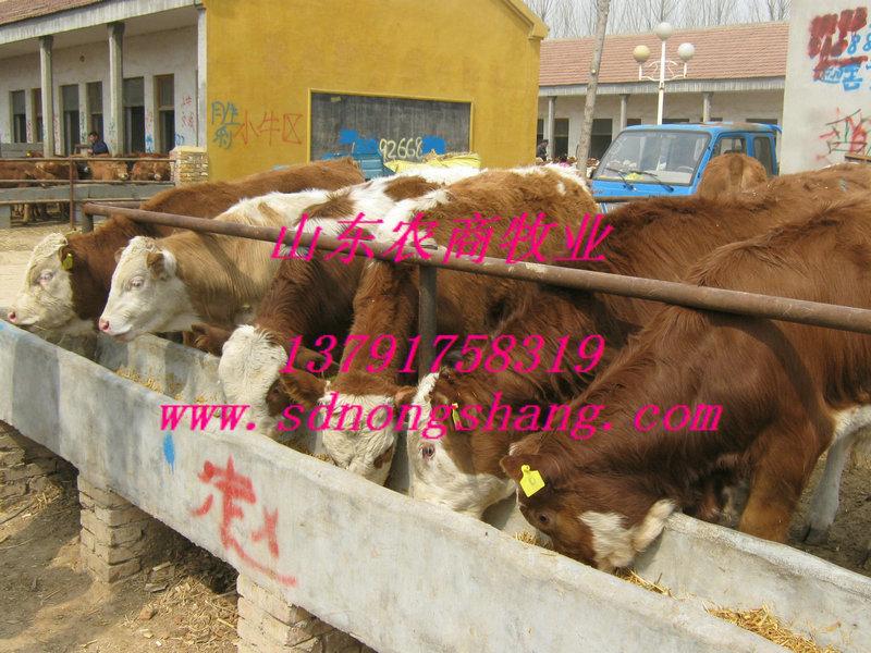 江门养殖什么品种的肉牛效益好图片/江门养殖什么品种的肉牛效益好样板图
