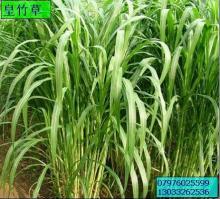 供应新型皇竹草种苗