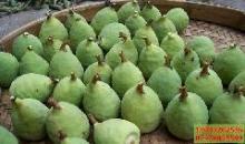供应特种蔬菜木馒头薜荔果