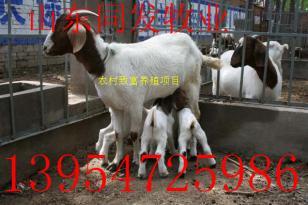 安徽波尔山羊养殖场安徽养羊场图片