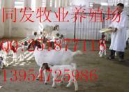 新疆波尔山羊养殖基地新疆养羊基地图片