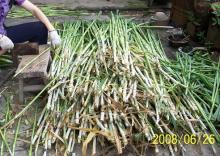 供应皇竹草种草