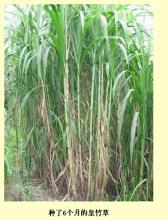 供应皇竹草牧草种