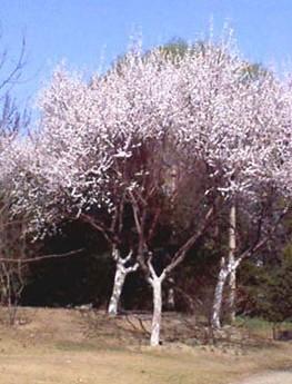 130公分山杏树图片