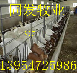 供应波尔山羊种羊价格