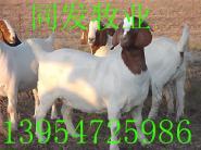 河南波尔山羊价格波尔山羊养殖视频图片