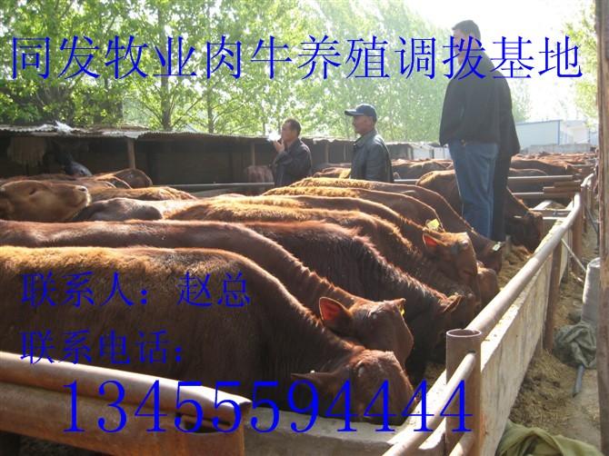供应黄牛养殖合作社-鲁西黄牛价格