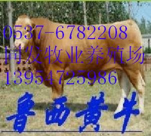 供应黄牛养殖黄牛图片