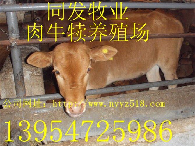 供应河南南阳黄牛养殖基地南阳黄牛价格