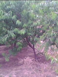 供应关于山桃树的资讯