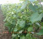 供应关于葡萄苗的资讯-葡萄苗生产厂家-葡萄苗产地