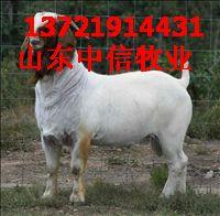 供应RR肉羊各种品种的杜泊绵羊的管理批发