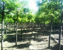 供应河北绿化苗木供应