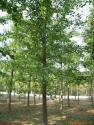 供应5-20CM优质银杏树 及银杏苗木5公分银杏树