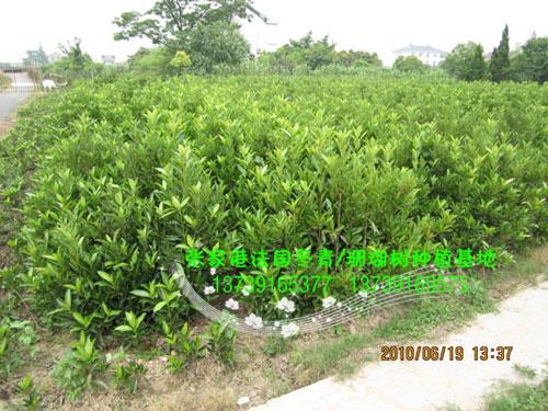 专业供应优质法国冬青珊瑚树苗木,苏州法国冬青