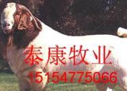 最新肉羊报价最新肉羊价格图片