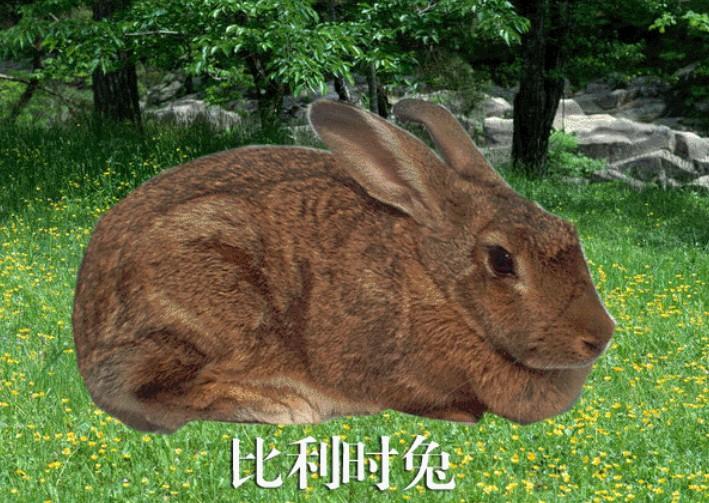 供应比利时兔批发