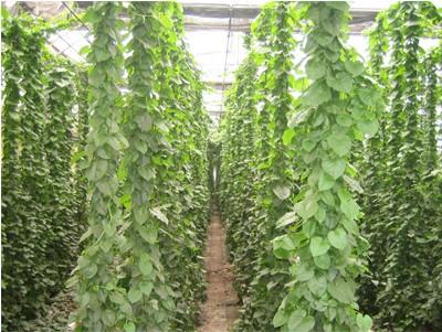 植物三七的图片图片大全 白背三七 药用部位 以植物的