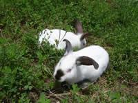供应比利时兔养殖,种兔价格,肉兔养殖,加利福尼亚兔批发