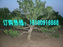 供应保定金银花树