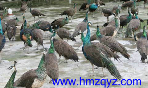 绿孔雀为国家一级珍稀保护动物