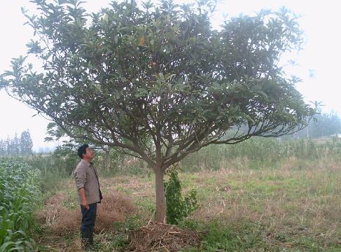 河南枇杷树价格图片_河南枇杷树价格图片大全