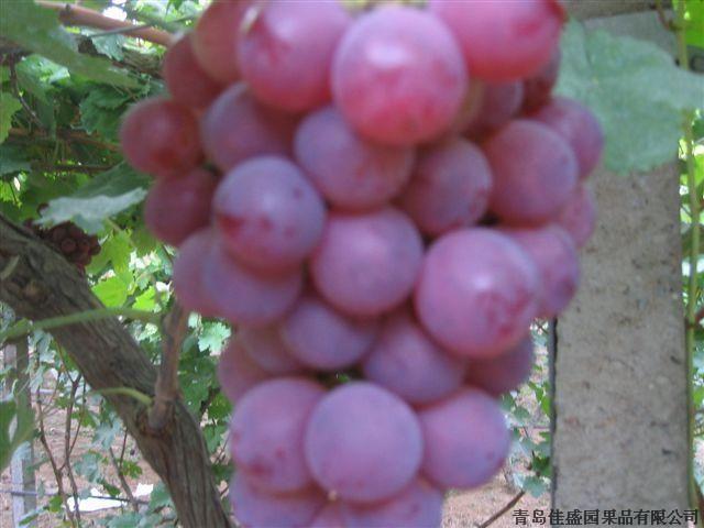 供应陕西红提葡萄基地红葡萄价格红提葡萄出售