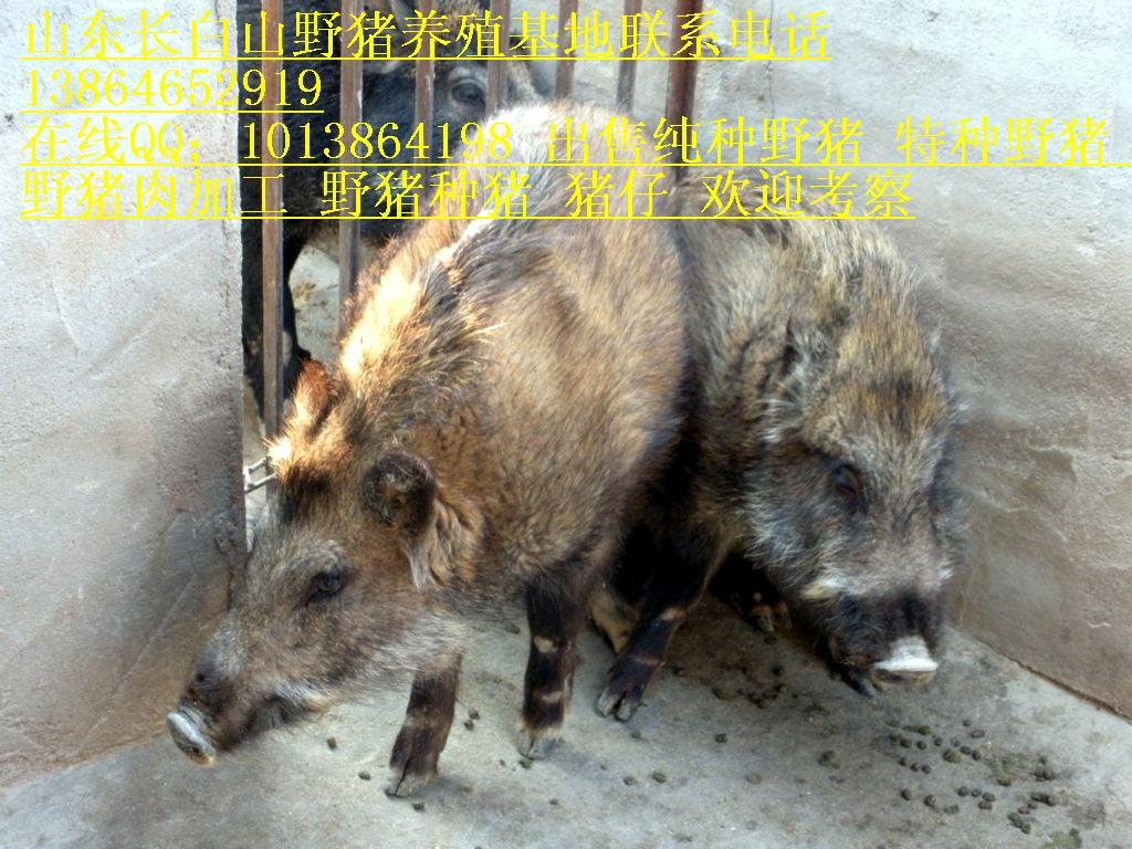 非洲动物世界野猪