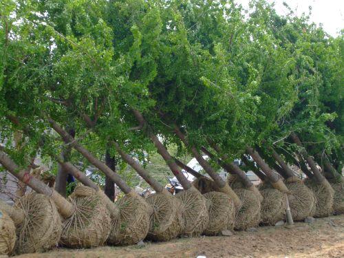 江苏徐州银杏树叶生产供应商 供应银杏树叶