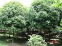 桂花树价格图片