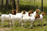 山东养牛羊基地养牛场牛羊养殖场养图片
