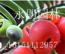 红豆杉/批发价健康树★红豆杉苗★红豆杉原价10现价8