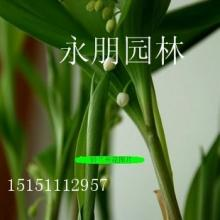 进口铃兰球根花卉外香型铃兰花繁殖快 耐阴花卉1-2年根芽