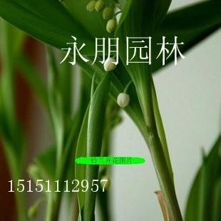 进口铃兰球根花卉外香型铃兰花繁殖快耐阴花卉1-2年根芽批发