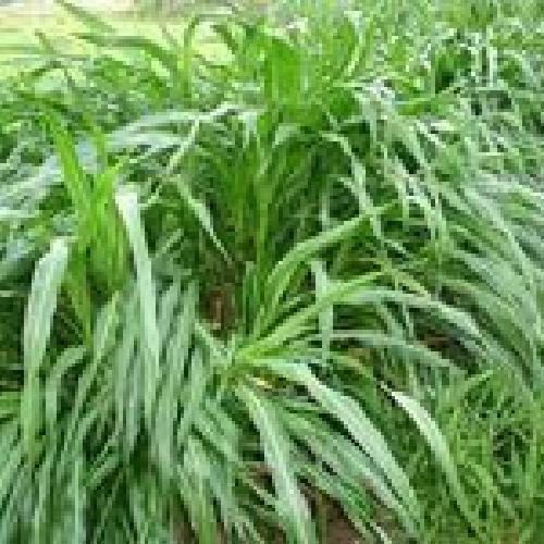多年生黑麦草每亩只需80元销售