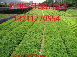 广州平佳绿化种苗基地