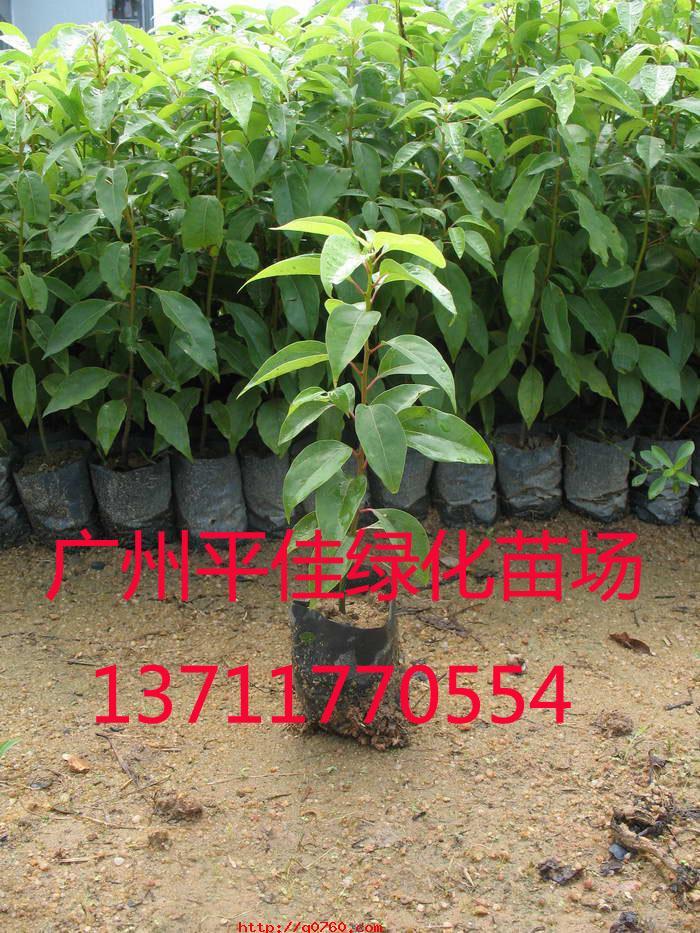 木棉小树苗图片