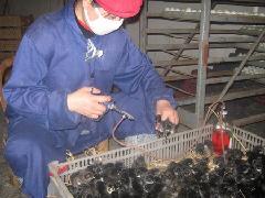 供应赣华绿壳蛋鸡免疫接种的新方法