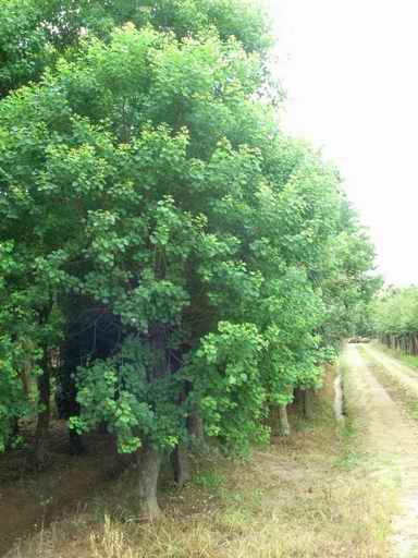 乌桕树价格