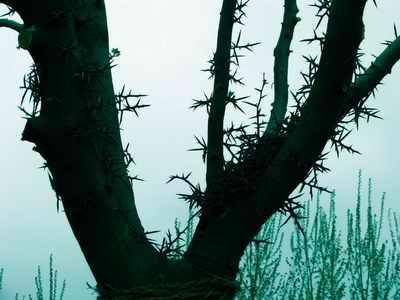 皂角树,皂角树价格