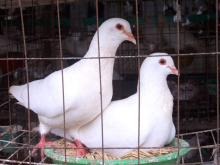 供应肉鸽供应