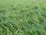 黑麦草图片/黑麦草样板图 (1)