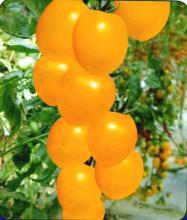 圣女果小番茄种子,小番茄种子批发,黄色圣女果种子