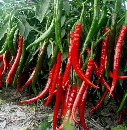供应线椒种子/甜椒种子/辣椒种子销售
