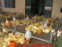 供应鹅种蛋珠蛋