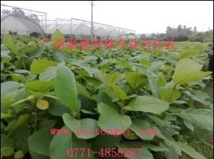 供应广西柚木苗种植技术批发
