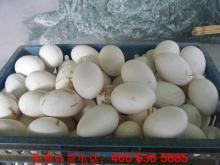 供应鹅蛋,鹅种蛋,种鹅蛋价格,鹅种蛋批发,种蛋鹅养殖,求购鹅蛋